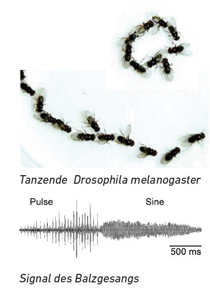 Ursula Damm: Drosophila during Chaining (2019) Photo: Toshihiro Kitamoto (top), Birgit Brüggemeier (bottom).
