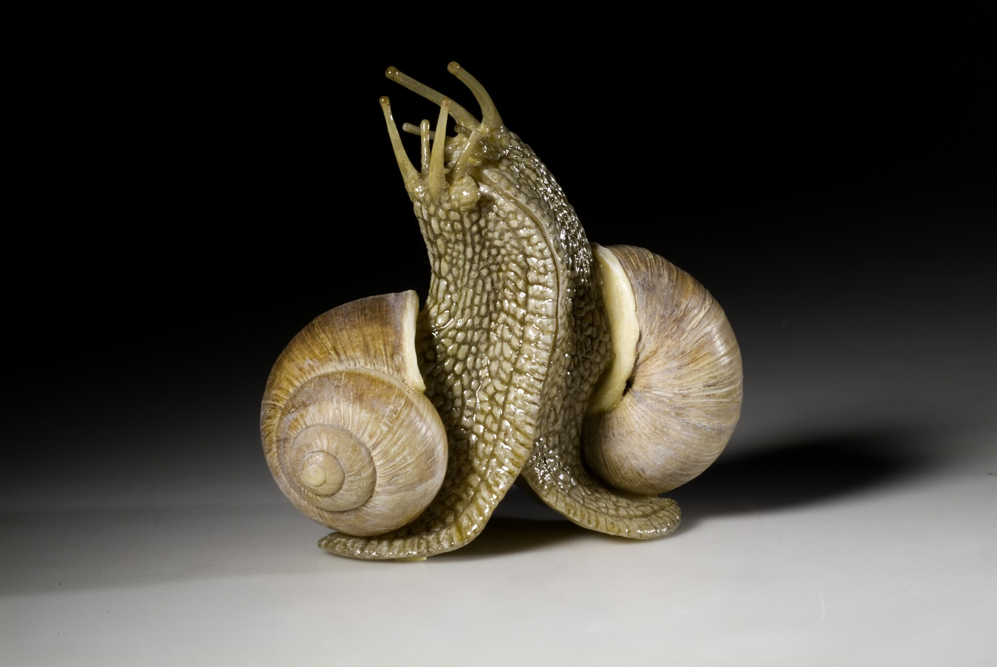 Slimy! Model of two Roman Snails (helix pomatia) mating, prepared the taxidermy experts of the museum (2020). Copyright: Carola Radke, Museum für Naturkunde Berlin.